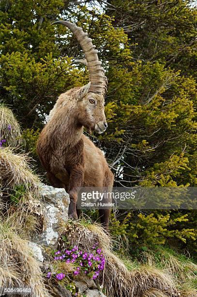 Alpine Ibex -Capra ibex-, standing in steep terrain, Bernese Oberland, Switzerland