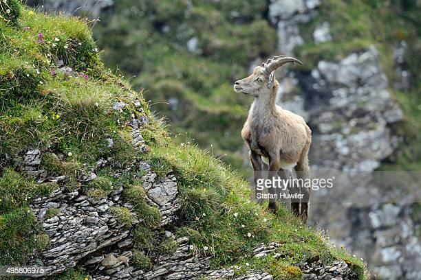 Alpine Ibex -Capra ibex- standing on steep terrain, Bernese Oberland, Canton of Bern, Switzerland