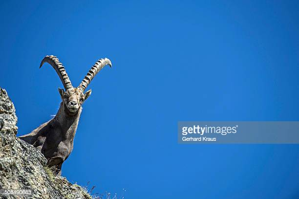 Alpine Ibex -Capra ibex-, Stelvio National Park, Italy