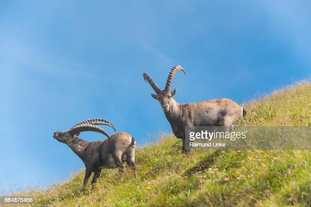 Alpine ibex, Capra ibex, two animals, Switzerland