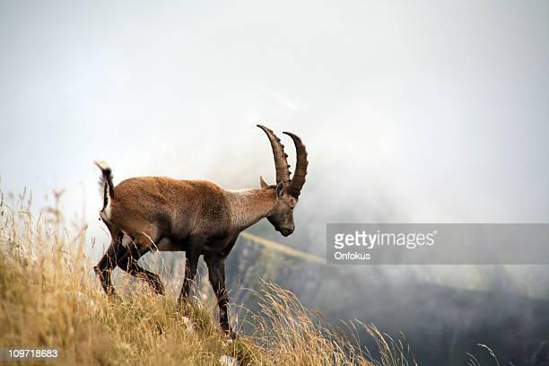 Bouquetin des Alpes escalade sur la montagne, Evian-les-Bains, France
