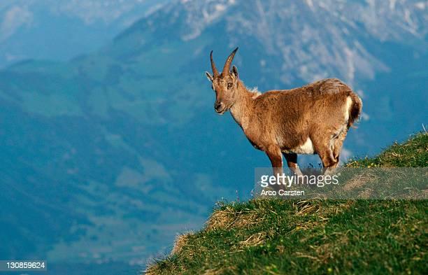 Alpine Ibex, female, Switzerland (Capra ibex) Alps