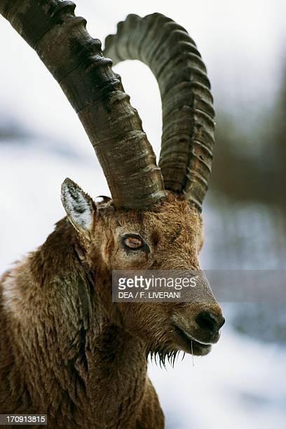Alpine ibex Gran Paradiso National Park Piedmont and Valle d'Aosta Italy