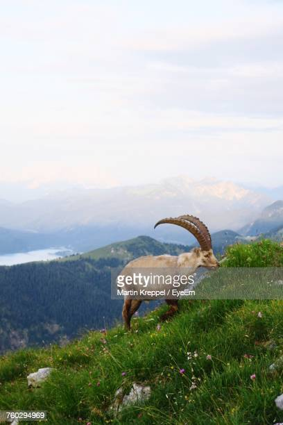 Alpine Ibex Grazing On Grassy Mountain Against Sky