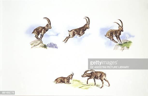 Alpine Ibex illustration