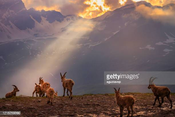 alpine ibex in dramatic italian alps landscape – gran paradiso, italy - piedmont italy stock pictures, royalty-free photos & images