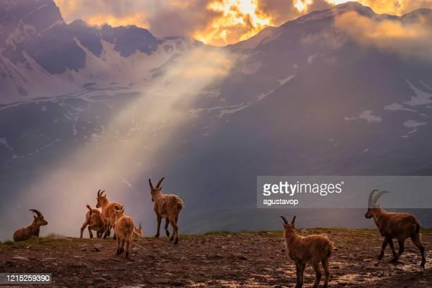 stambecchi alpini nel drammatico paesaggio alpino italiano - gran paradiso, italia - parco nazionale del gran paradiso foto e immagini stock