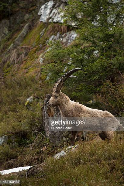 Alpine Ibex in forest
