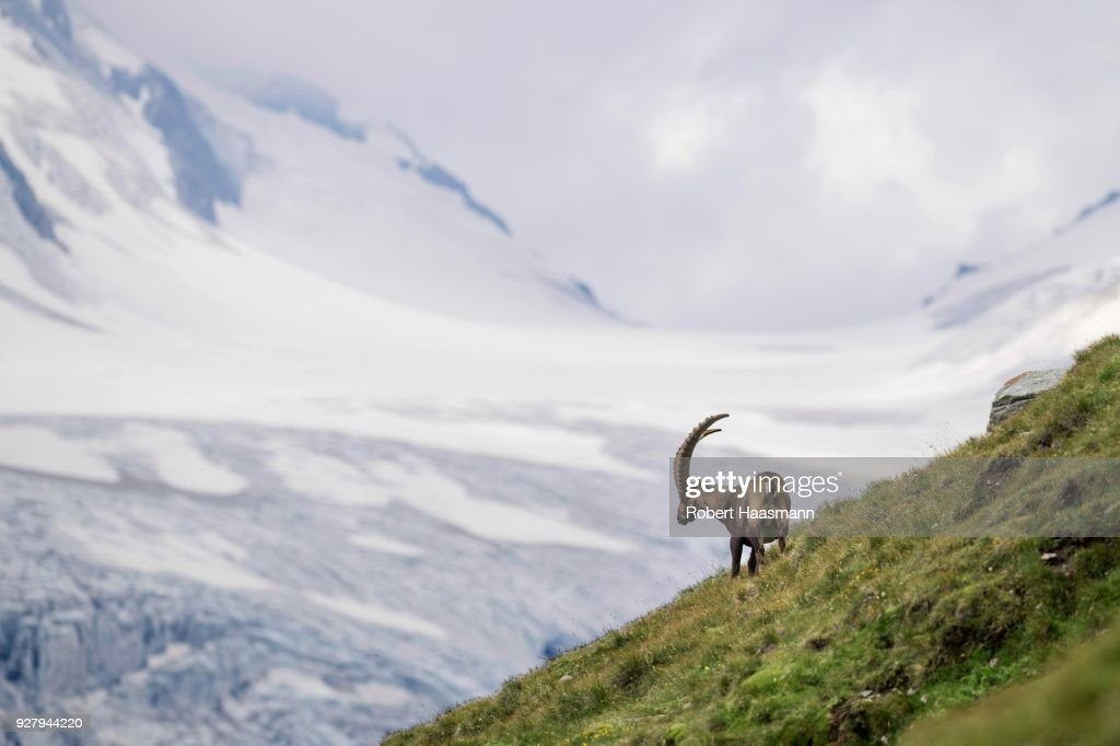 Alpine Ibex (Capra Ibex) in front of glacier, Hohe Tauern National Park, Carinthia, Austria : Stock Photo