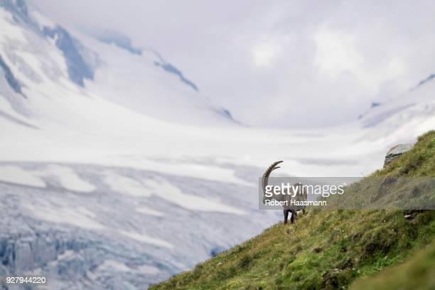 Alpine Ibex (Capra Ibex) in front of glacier, Hohe Tauern National Park, Carinthia, Austria