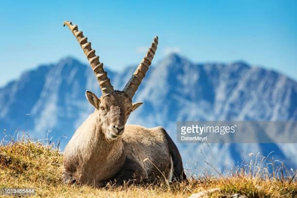 Alpine Ibex voor Mount Watzmann - Nationalpark Berchtesgaden