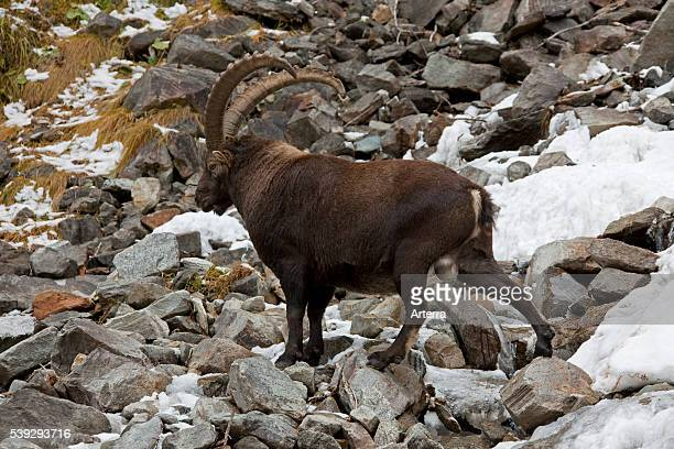 Alpine ibex in the Italian Alps in the snow Gran Paradiso National Park Italy