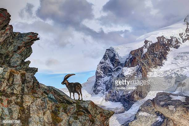 alpine ibex in the mountains - ibex ストックフォトと画像