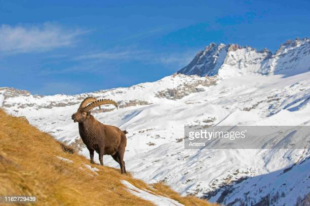 Alpine ibex male foraging in the snow in winter in the Gran Paradiso National Park, Italian Alps, Italy.