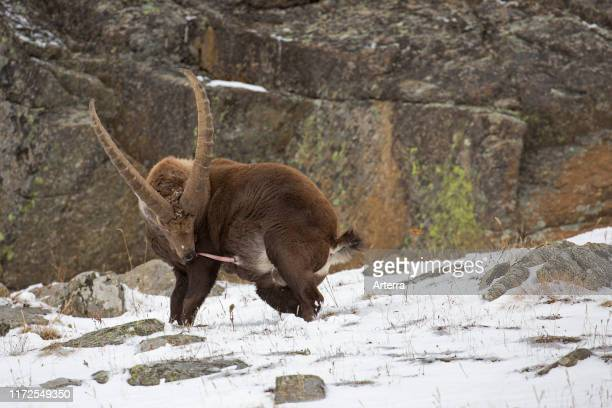 Alpine ibex male with large horns and erect penis during the rut in the snow in winter Gran Paradiso National Park Italian Alps Italy