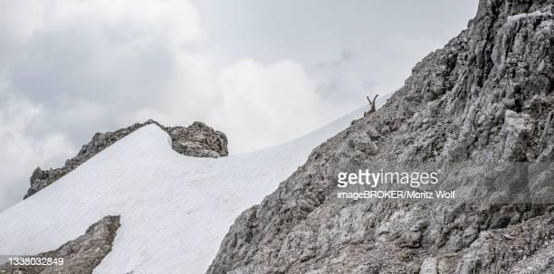 alpine ibex (capra ibex) on a snow field, heilbronner weg, allgaeu alps, allgaeu, bavaria, germany - weg bildbanksfoton och bilder