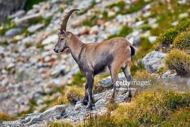 Alpine Ibex on Alps mountain above Chamonix