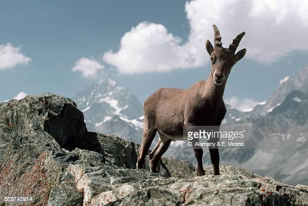 Alpine Ibex on Mountain Tops