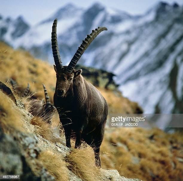 Alpine ibex or Steinbock , Bovidae, Gran Paradiso National Park, Aosta Valley, Italy.
