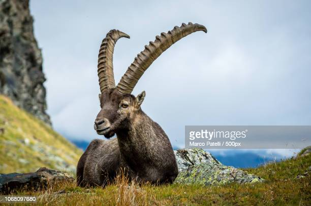 alpine ibex resting in mountains - ibex ストックフォトと画像