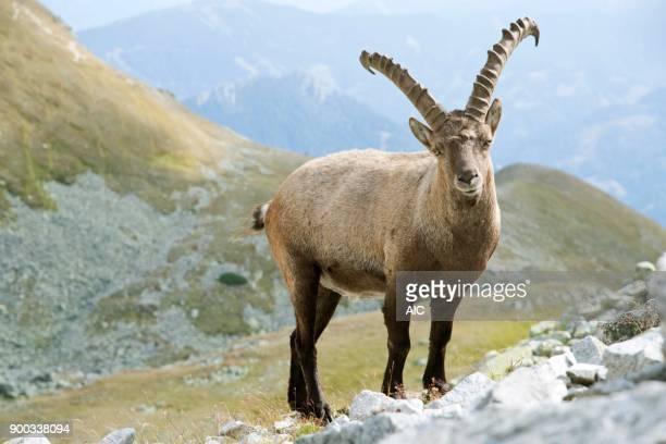 Alpine Ibex (Capra ibex), Rottenmanner Tauern, Styria, Austria