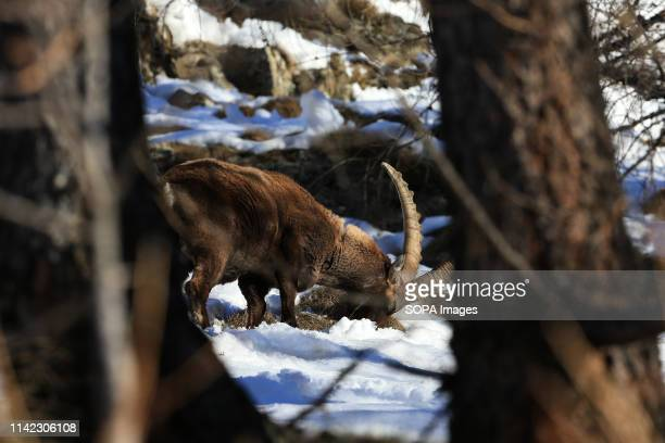 Alpine ibex seen relaxing in the mountains