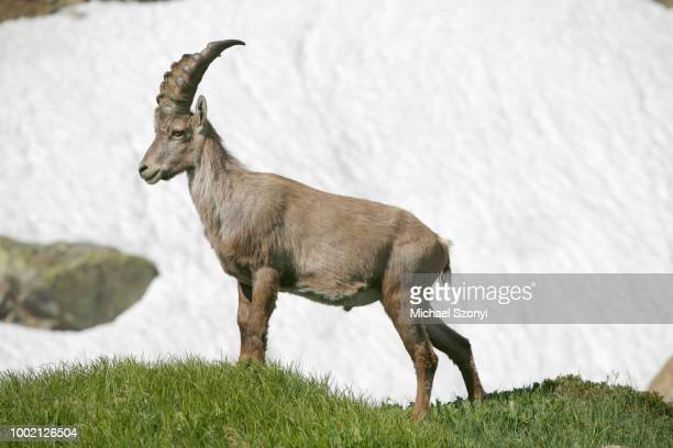 alpine ibex (capra ibex) standing in front of a field of old snow, robiei, ticino, switzerland - vista lateral stock pictures, royalty-free photos & images