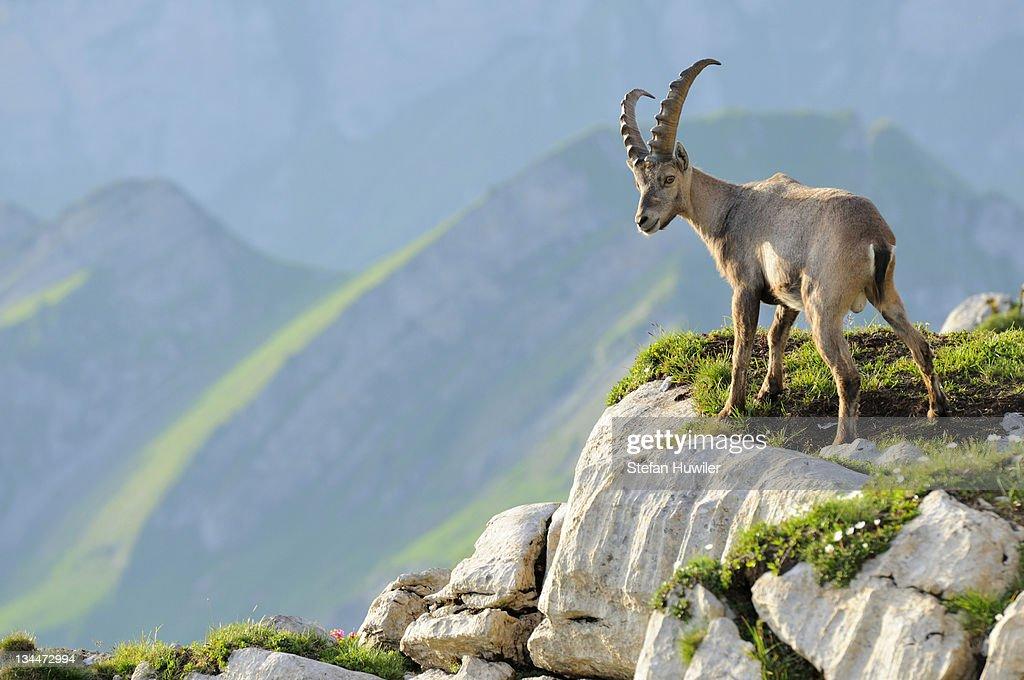 Alpine ibex (Capra ibex), standing on rock ledge : Stock Photo