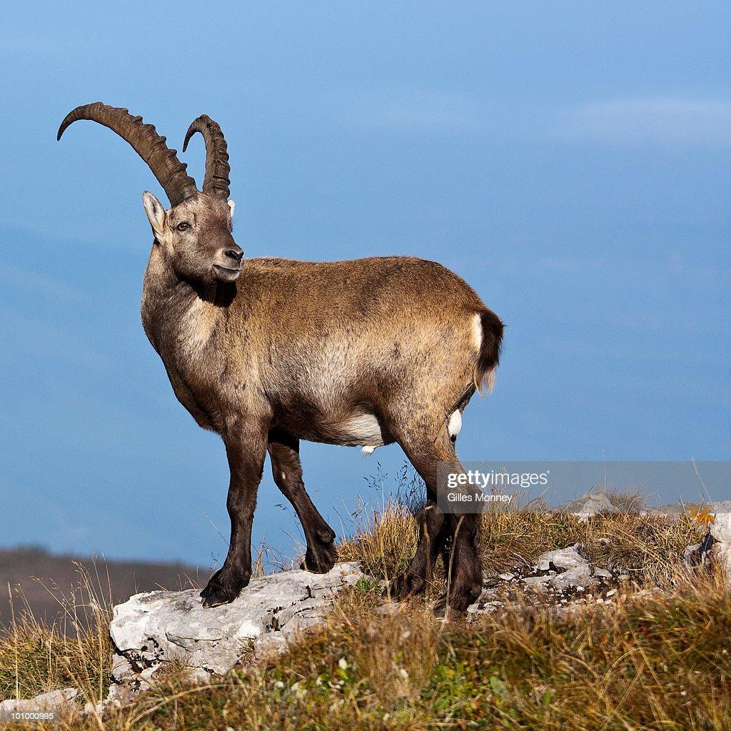 alpine ibex standing on top  of mountain : Stock Photo