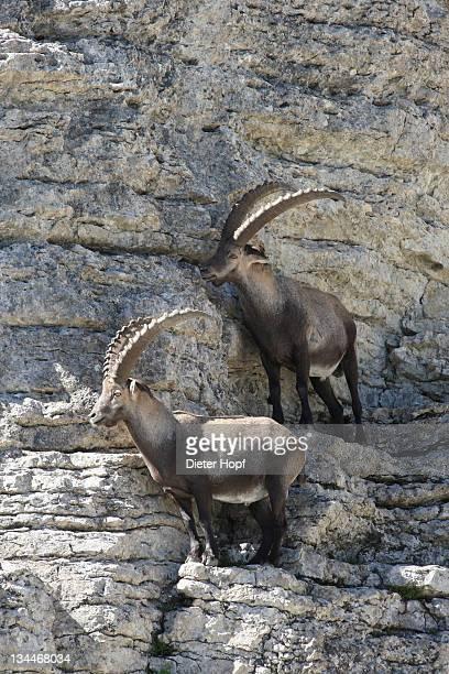 Alpine ibex (Capra ibex), Toggenburg, Canton St. Gallen, Switzerland, Europe