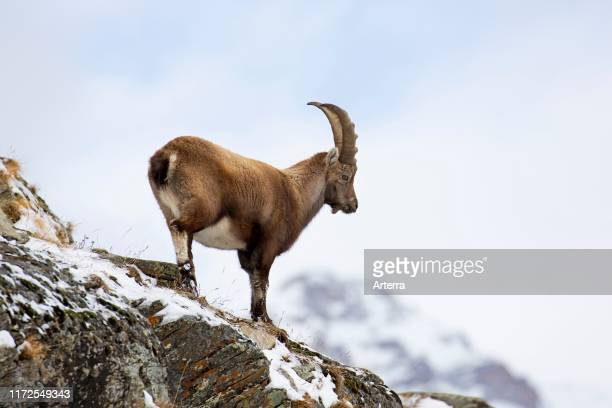 Alpine ibex young male foraging on mountain slope in the snow in winter, Gran Paradiso National Park, Italian Alps, Italy.