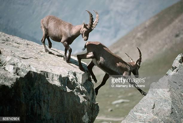 Alpine Ibexes Crossing Mountain Rocks