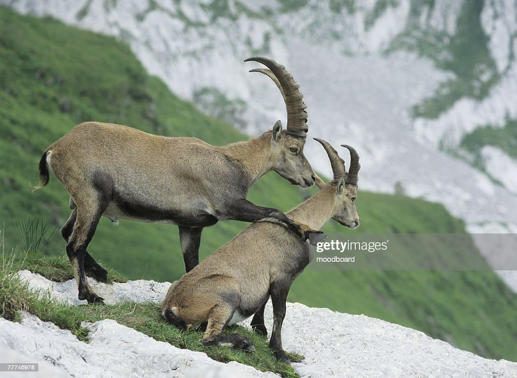Alpine Ibexes : Stock Photo