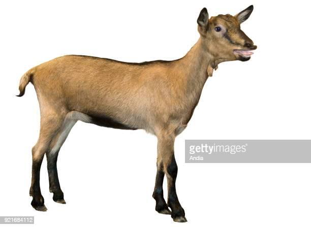 Alpine kid goat standing bleating
