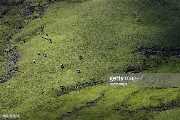 Alpine landscape with cows