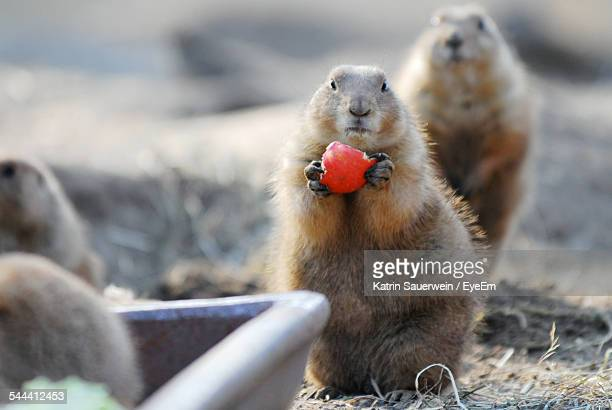 alpine marmot holding red fruit on field - funny groundhog stock photos and pictures
