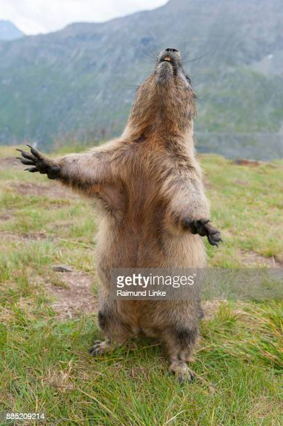 alpine marmot, marmota marmota, standing, hohe tauern national park, austria - funny groundhog stock photos and pictures