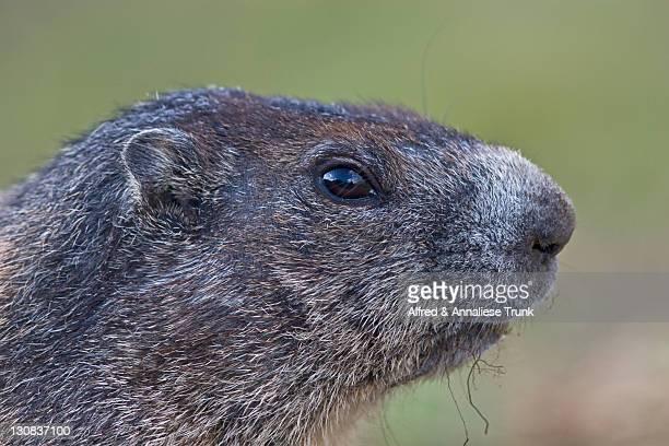 alpine marmot (marmota marmota) - vista lateral stock pictures, royalty-free photos & images