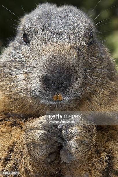 alpine marmot (marmota marmota) - funny groundhog stock photos and pictures