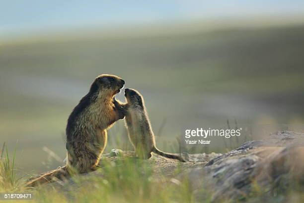 alpine marmot - yasir nisar stock photos and pictures