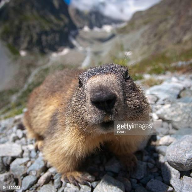 alpine marmot - イゼール県 ストックフォトと画像