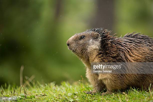 alpine marmot - woodchuck stock pictures, royalty-free photos & images