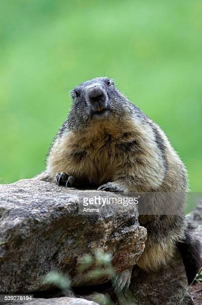 Alpine marmot sitting on rock Gran Paradiso National Park Italian Alps Italy
