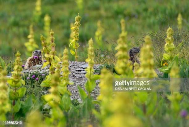 Alpine marmots in the grass Dolomites TrentinoAlto Adige Italy