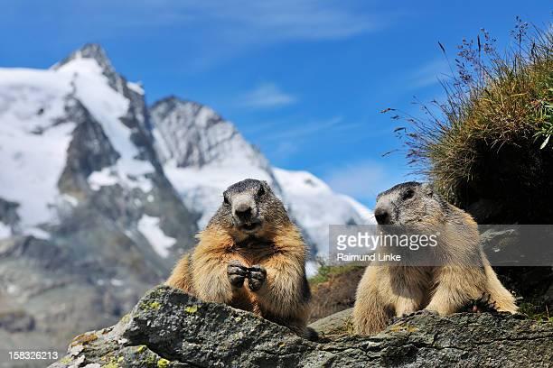 alpine marmots, marmota marmota - woodchuck stockfoto's en -beelden