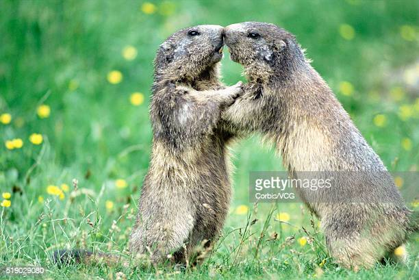 alpine marmots touching - funny groundhog stock photos and pictures