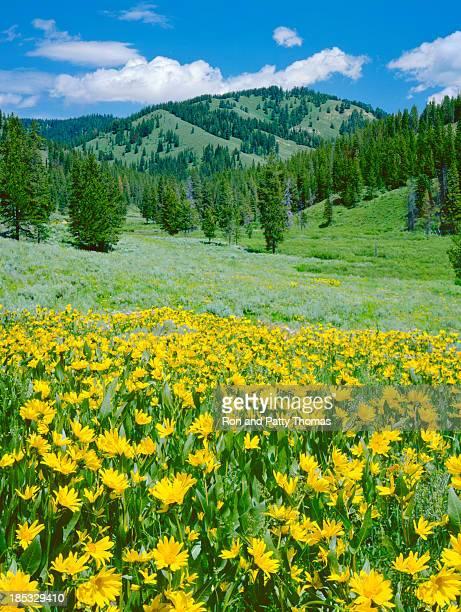 Alpine Meadow In Wyoming