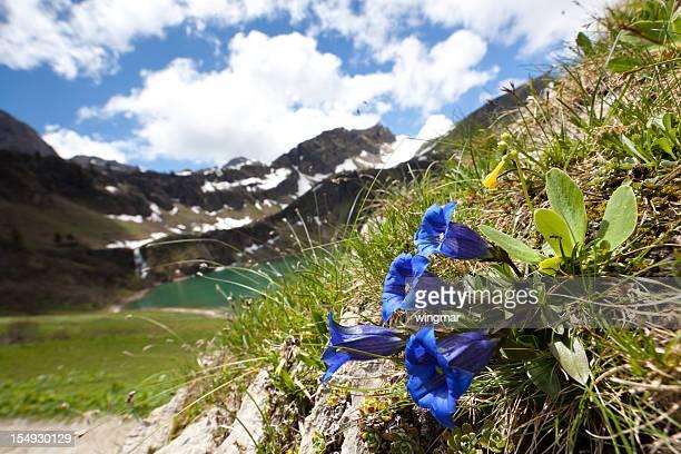 alpine meadow with enzian on forground, tirol, austria, alps