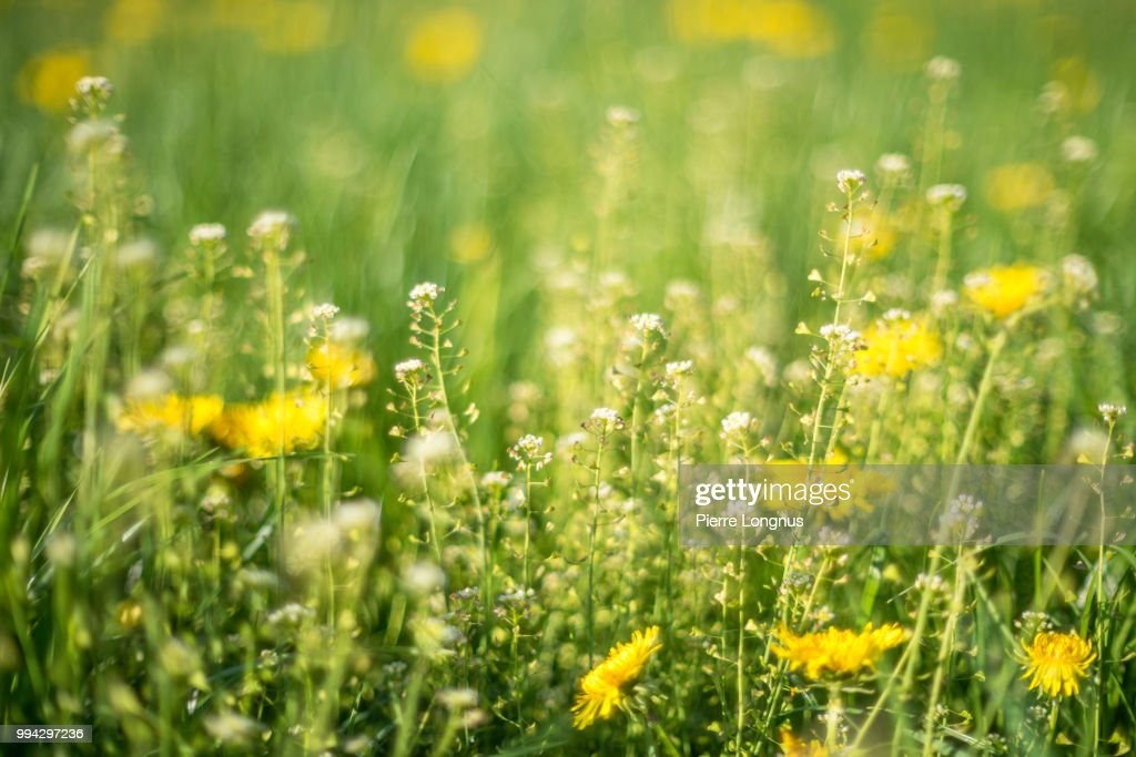 Alpine Meadow With Yellow Dandelions Flowers and flowery grass that causes allergy to some. snowcapped Moleson mountain (2002m) visible. : Stockfoto