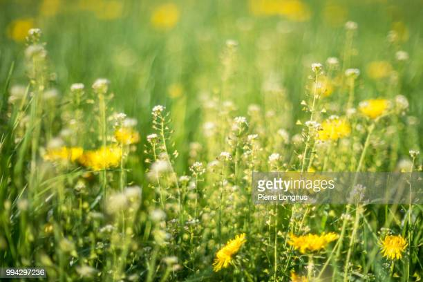 alpine meadow with yellow dandelions flowers and flowery grass that causes allergy to some. snowcapped moleson mountain (2002m) visible. - flower head stock pictures, royalty-free photos & images